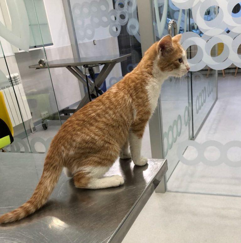 RODEN, gato común europeo de José Martínez de Zuvillaga