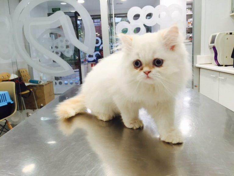 RONY gato persa