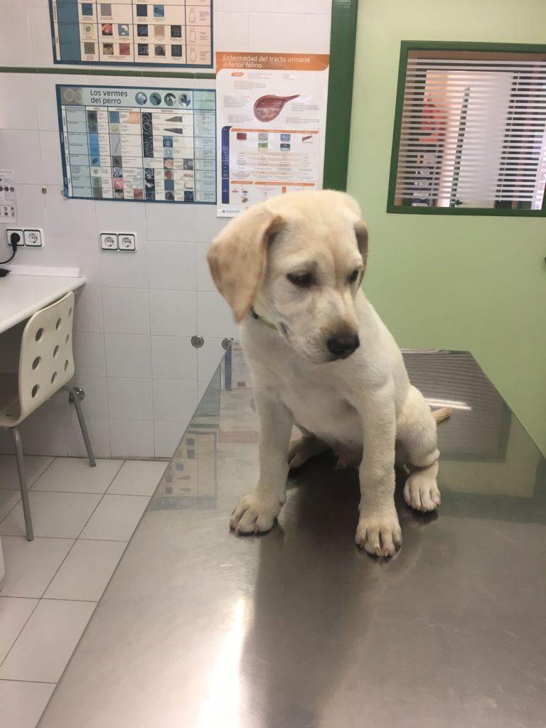 THOR Cachorro labrador retriever de Marta González Zarabozo