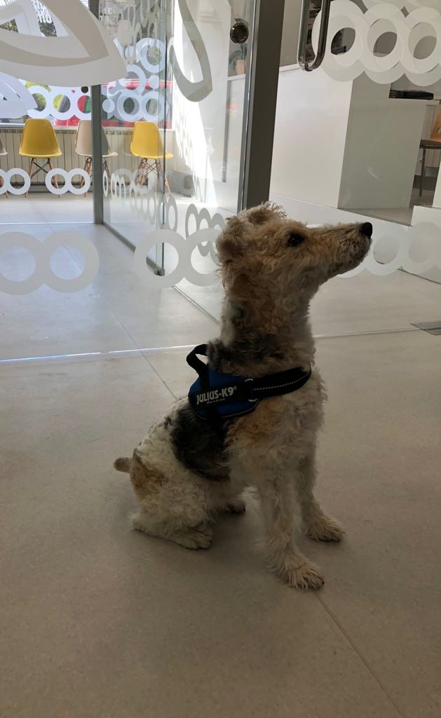 LUCKI, Fox Terrier de Deluzan Pereira