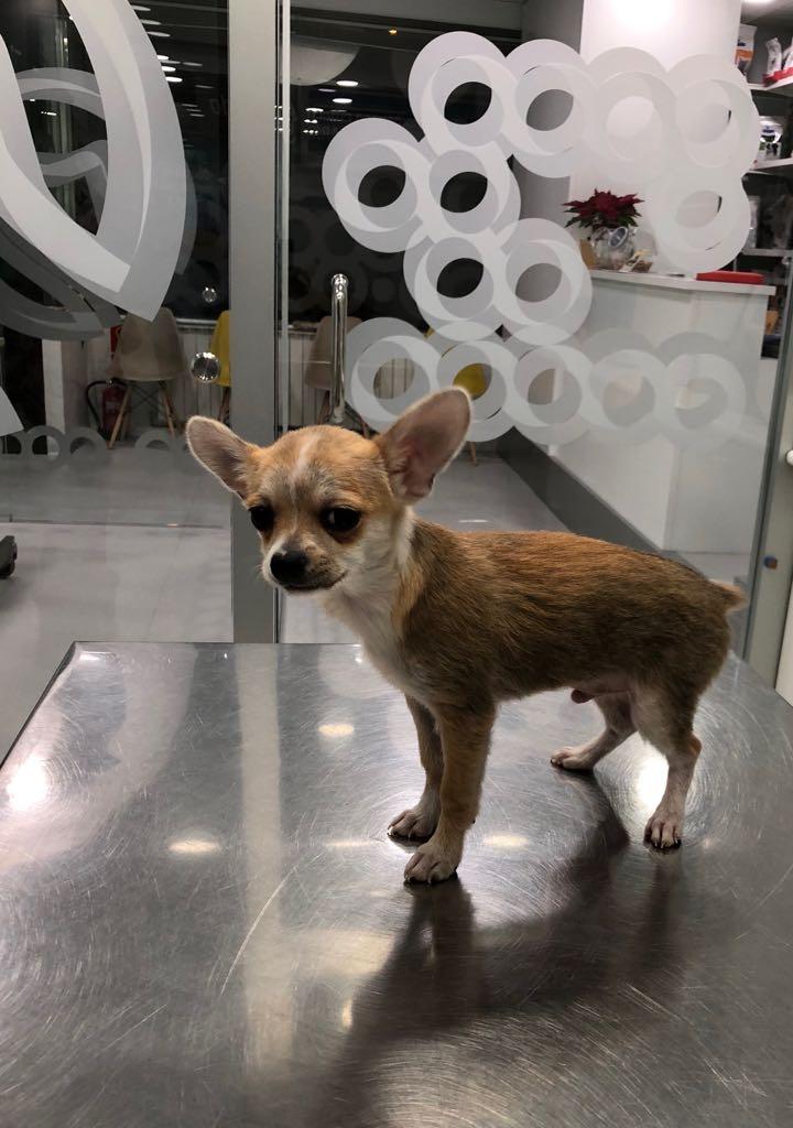 SIHUCA, Chihuahua macho de Marta María Cueva Lastra