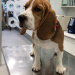 ULA, perra Beagle de 6 meses de Beatriz Suárez