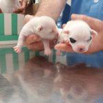 TELVA y PINÓN, los cachorros de SHILCA, Chihuahuas de Belén González-Nuevo. Con solo dos días de vida tras una cesárea