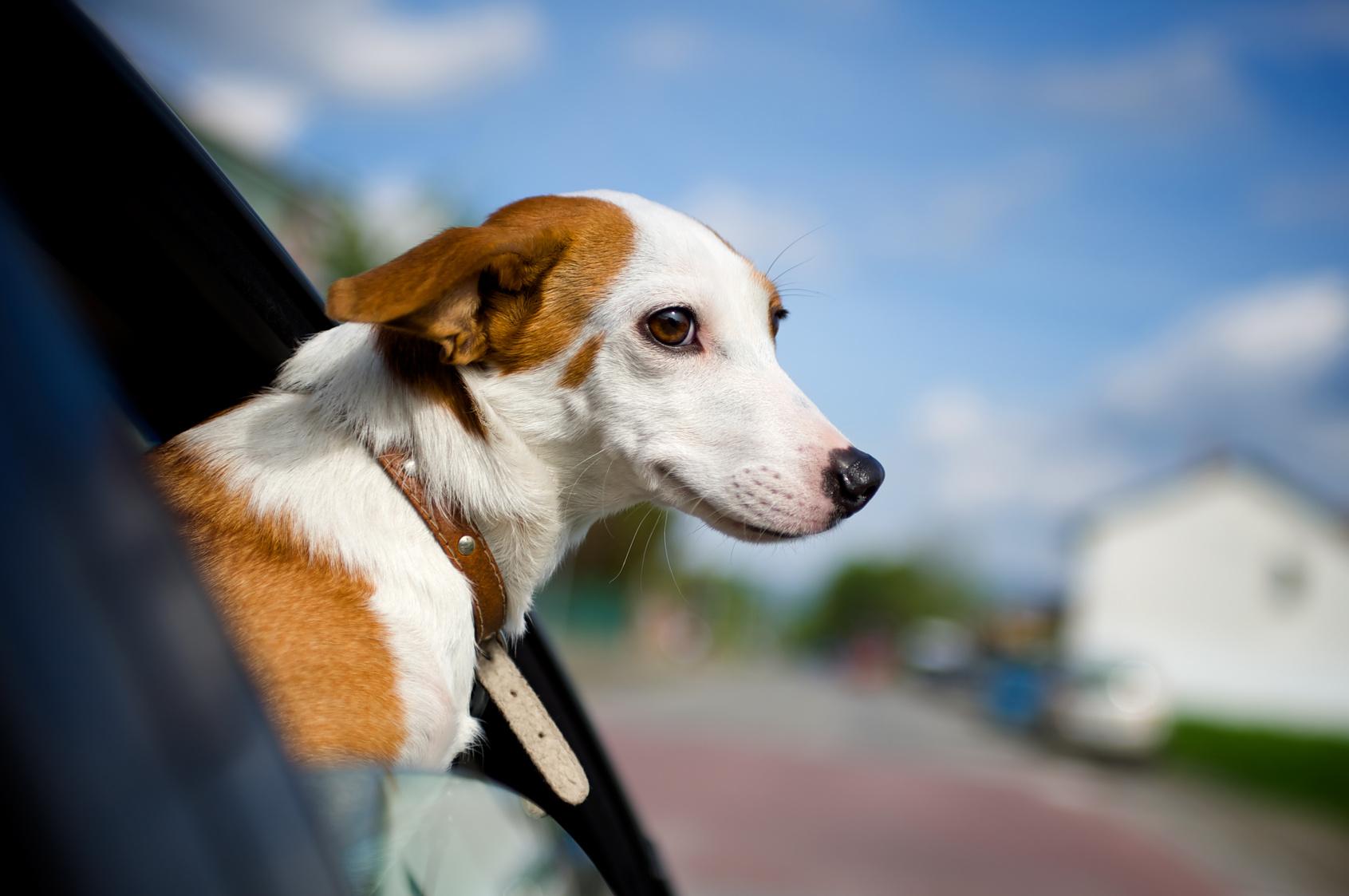 8 Consejos para viajar con tu mascota