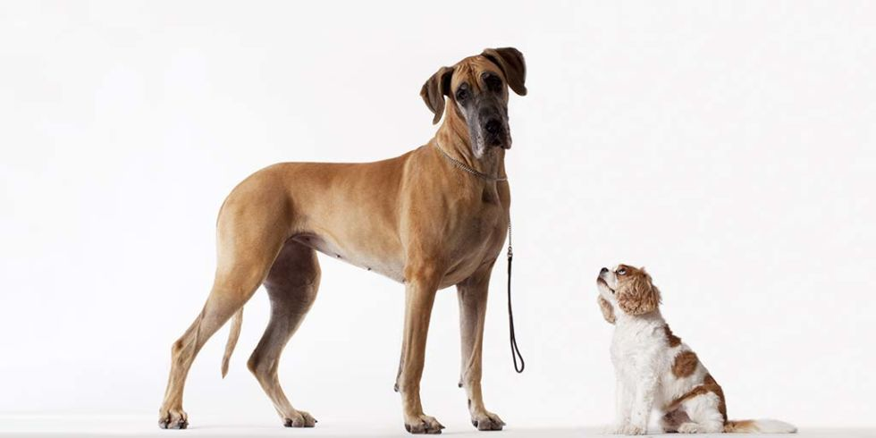 ¿Por qué un perro pequeño vive más que uno grande?