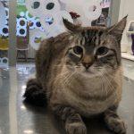 LUCKY, gato común europeo de Clara Esther Rodríguez